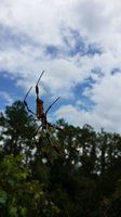 Scary Florida Spider at the Balm Boyette Scrub Preserve Mountain Bike Trail